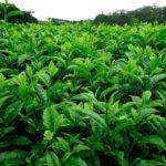 Глава Минпромторга рекомендует россиянам пить выращенный в РФ травяной чай