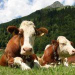 Минсельхоз провел очередной «Час контроля» по вопросам бесперебойной работы предприятий животноводства и переработки