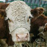 Как получить субсидию на мясо КРС в Ростовской области