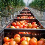 Производство тепличных овощей в Рязанской области выросло в 15 раз