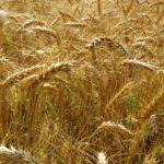 Минсельхоз посоветовал трейдерам, не получившим квоту на экспорт зерна, направить его в ЕАЭС