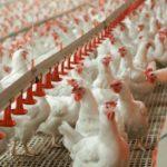 Производство продукции птицеводства выросло на 2,4%