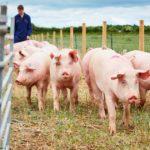 В Югре под риском закрытия находится несколько свиноферм