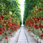 Российские тепличные комбинаты на фоне активного спроса повышают цены на томаты