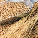 В Новосибирской области реализовано более 60 тыс тонн пшеницы федерального интервенционного фонда