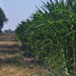 Бельгийские ученые проверят реальные преимущества ГМ-кукурузы