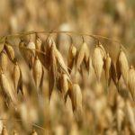 Практика выращивания овса в Подмосковье – реальная рентабельность и преимущества культуры