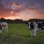 Интенсивные пастбища требуют больше азотных удобрений и даже фунгицидов