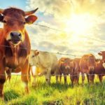 «Горкунов» инвестирует в мясное животноводство Новосибирской области 30 млрд рублей