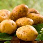 Биотехнологический картофель – будущее индустрии?