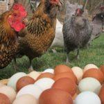 Ученые в Петербурге вывели новую породу яйценоских кур