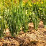 Удобрения для лука 2020 – все нюансы луковой подкормки