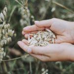 Новый супер-продукт из пророщенного зерна разработали технологи Башкирского государственного аграрного университета