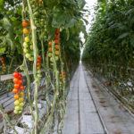 Крупный производитель тепличных овощей запустит проект на Дальнем Востоке
