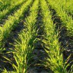 В Тамбовской области ожидается высокий урожай озимых