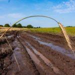 На Кубани площадь погибших сельхозкультур выросла до 53 тыс. га