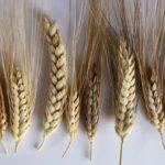 Селекционеры вывели пшеницу, защищающую человека от вирусов