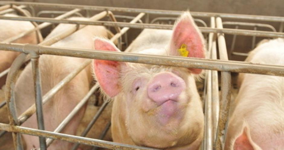 В Тамбовской области увеличивается производство продукции свиноводства