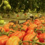Производство тепличных овощей в России выросло на 19%