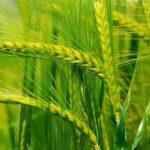 Яровые зерновые культуры в целом по стране посеяны на площади 24,4 млн га или 83,7%
