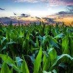 Что будет с кукурузой в затопленном поле – шансы на выживание