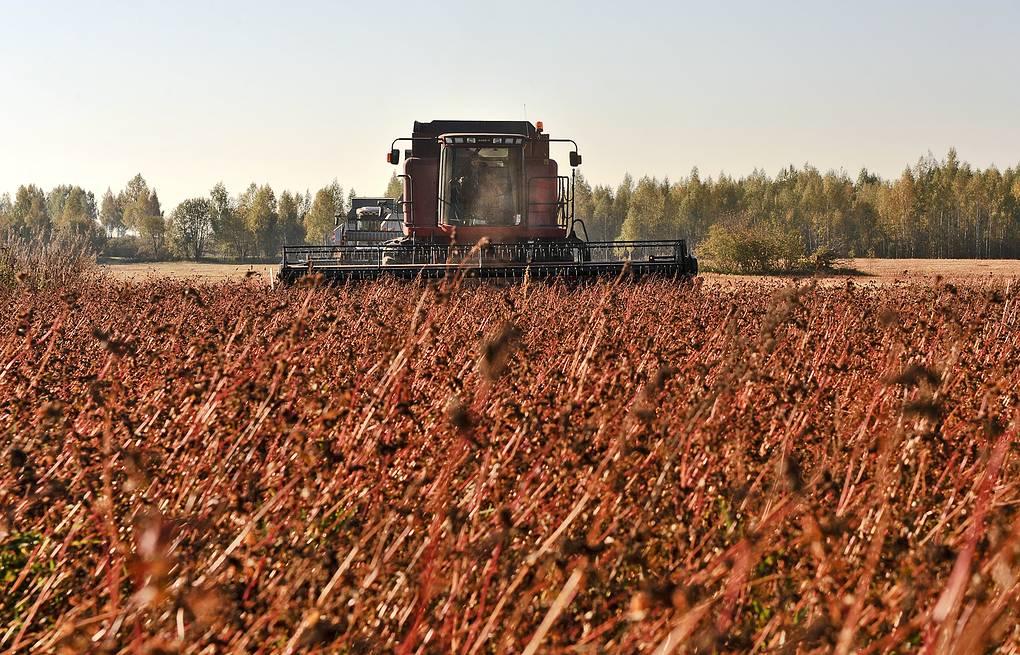 Урожай гречихи может стать рекордно низким