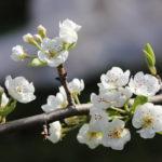 Как спасти грушу и яблоню от монолиоза – советы экспертов дачникам