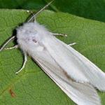 Американская белая бабочка – опасный вредитель