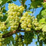 Ученые Тимирязевки соберут урожай винограда на месяц раньше, чем на Кубани и в Крыму