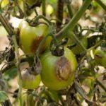 Как спасти помидоры от фитофторы