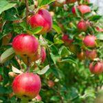 Самый большой яблоневый сад появился в Крымском университете