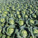 Российские фермеры могут отказаться от дальнейшей уборки ранней капусты