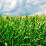 Агрономическая загадка: почему кукуруза превратилась в «красную фиалку»