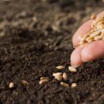 Ученые вывели пшеницу, которая защищает человека от вирусов
