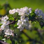 Российский сорт яблони Имрус с устойчивостью к парше уже внедряется в производство