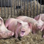 ГК «Агроэко» открыла свинокомплекс в Воронежской области
