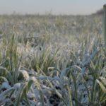 Засуха и заморозки приведут к гибели до 30% урожая в Краснодаре