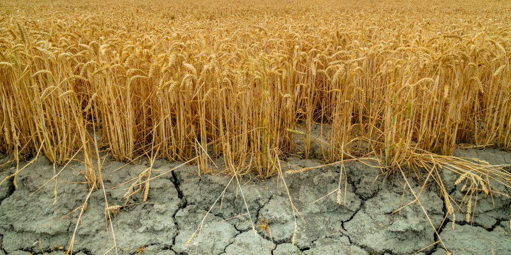 Сухое поле: в степных районах Сибири готовы ввести ЧС из-за засухи