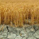 Засуха грозит неурожаем алтайскому хозяйству