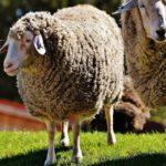 «Мираторг» в 2,3 раза увеличит маточное поголовье овец в Курской области