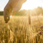 Минсельхоз ожидает роста площади застрахованных посевов в 1,5 раза