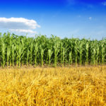 Мыши атакуют кукурузные и подсолнечные поля на Ставрополье