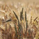 Аграрии Юга России могут потерять треть урожая зерна и овощей
