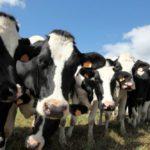 Молочники Новосибирской области теряют рентабельность