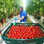 Цены на томаты в июле упали в 2 раза по сравнению с прошлым годом