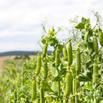 В Башкортостане на 15% возросла урожайность гороха