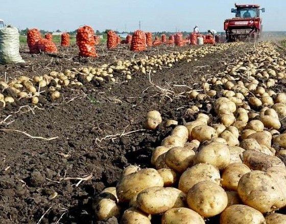 В Хабаровском крае увеличат урожай картофеля в 1,7 раз