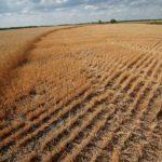 Засуха в регионах не повлияла на уборочную кампанию в России