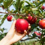 В Крыму стартовала уборочная кампания яблок