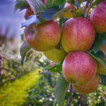 На Ставрополье планируют собрать 20 тысяч тонн яблок